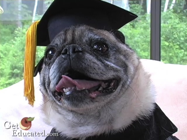 Pug Dog Earns Online MBA Through Life Experience