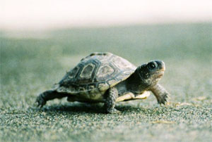Accelerated degree turtle
